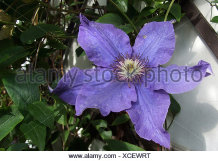 Purple clematis flower close up - Stock Photo