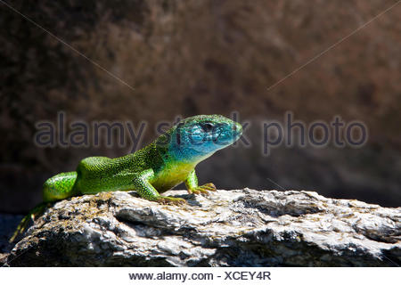 The European Green Lizard (Lacerta viridis) is a large lizard distributed across European midlatitudes, It is often seen sunning on rocks or lawns, or sheltering amongst bushes, Switzerland Europe - Stock Photo