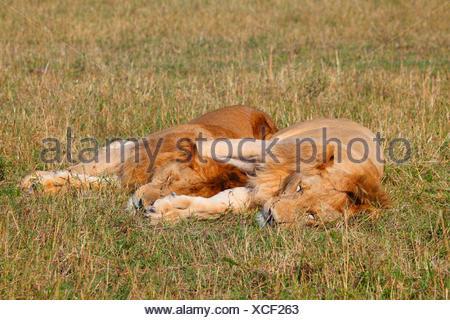 lion (Panthera leo), two sleeping males in savannah, Kenya, Masai Mara National Park - Stock Photo