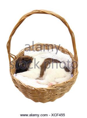 little puppy sleeping in basket - Stock Photo