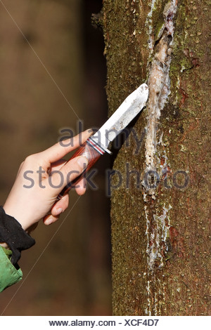Norway spruce (Picea abies), kid scratching tree gum with a pocket knife from a spruce trunk, Germany - Stock Photo