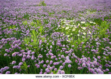 Field of Chives (Allium schoenoprasum), Voels, Tyrol, Austria, Europe - Stock Photo
