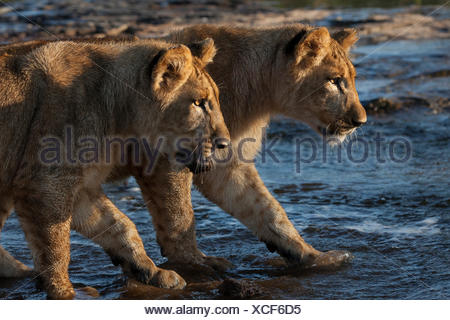 Two lion cubs, Panthera leo, stalk intently in shallow water. - Stock Photo