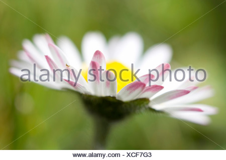 Bellis perennis, Lawn daisy, White flower subject, Green background - Stock Photo