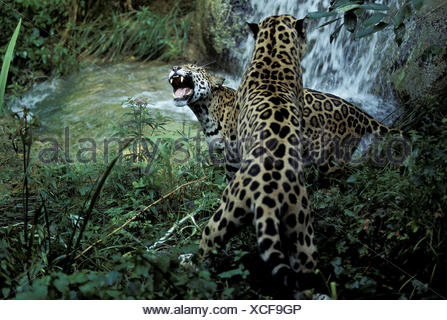 Jaguar,Panthera onca,fight, - Stock Photo