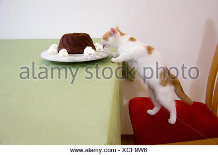 young naschkatze eats cream from brownies in styria - Stock Photo
