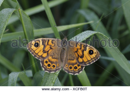 Argusvlinder opwarmend; Wall Brown warming up - Stock Photo