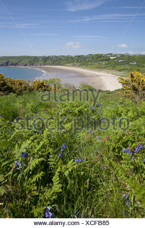 Bluebell (Endymion non-scriptus) and Common Gorse (Ulex europaeus) flowering growing on clifftop habitat Freshwater East - Stock Photo