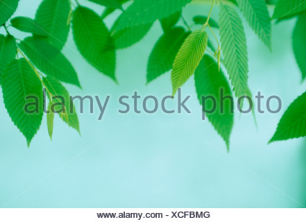 Close-up of green leaves against blue background - Stock Photo