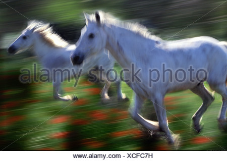 Camargue horses running in a poppy field France - Stock Photo