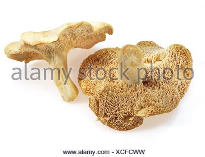WOOD HEDGEHOG MUSHROOM hydnum repandum AGAINST WHITE BACKGROUND - Stock Photo