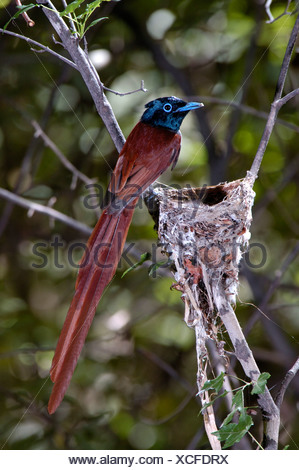 Asian Paradise-flycatcher / Terpsiphone paradisi, male. Ussuriland, Far East of Russia - Stock Photo