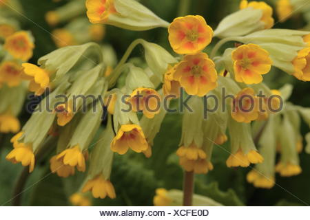 Common cowslip - Primula veris - Stock Photo