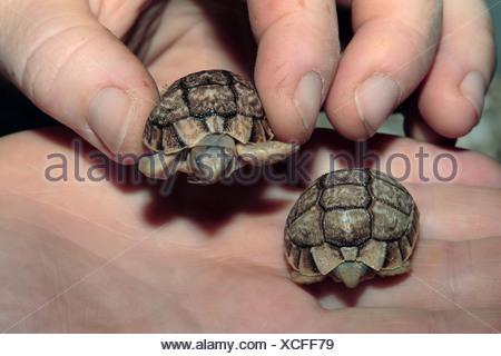 leopard tortoise (Geochelone pardalis), two juveniles on a hand - Stock Photo
