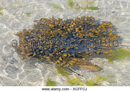 Spiral wrack, Flat wrack, Jelly bags, Spiraled Wrack (Fucus spiralis), wrack in shallow water, Germany - Stock Photo