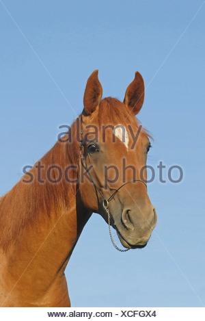 German Riding horse - portrait - Stock Photo