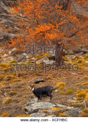 chamois (Rupicapra rupicapra), chamoison a slope in autumn, Italy, Gran Paradiso National Park - Stock Photo
