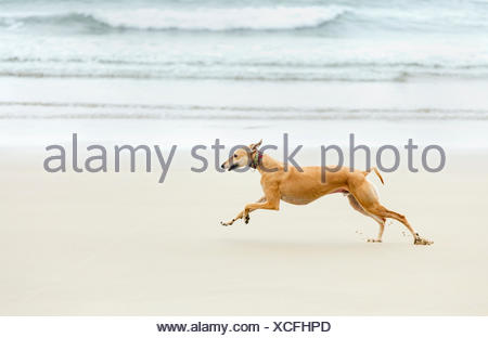 Spain, Llanes, greyhound running on the beach - Stock Photo