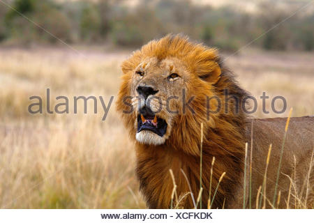 African Lion- male, Kenya, Africa2 - Stock Photo