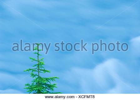 Norway spruce and flowing glacier water; fijnspar en stromend gletscher water - Stock Photo