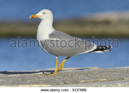Yellow-legged Gull - Larus michahellis - summer adult. - Stock Photo