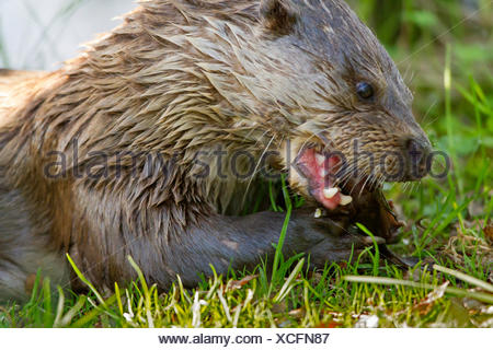 river otters (Lutra spec.), eating drucian carp, Norway, Troms - Stock Photo