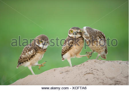 Two newly fledged burrowing owl chicks (Athene cunicularia) one being groomed by its mother (far left) Pantanal, Brazil. - Stock Photo