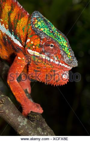 Male Panther Chameleon (Furcifer pardalis) in aggresive posture. Captive, from Ambanja region, North West Madagascar. - Stock Photo