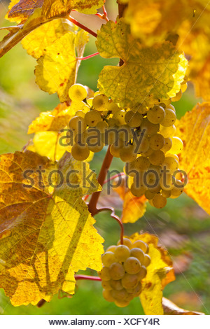 Grapes at autumn - Stock Photo