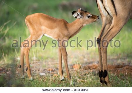 Impala (Aepyceros melampus), new-born cub sniffing at its mother, Samburu National Reserve, Kenya. - Stock Photo