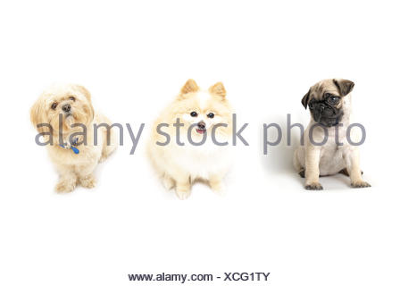 A few obedient dogs in a row isolated on a white background. - Stock Photo