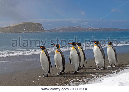 king penguin (Aptenodytes patagonicus), grout at the snowy coast of the Atlantic Ocean, Antarctica, Suedgeorgien, St. Andrews Bay - Stock Photo
