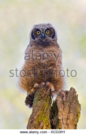 Great Horned Owl (Bubo virginianus) perched on a dead tree in Victoria, Vancouver Island, British Columbia, Canada