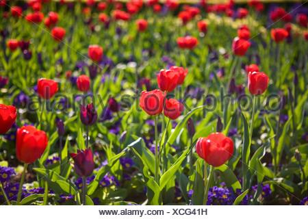 Mass Of Vivid Purple Flowers And Green Leaves Of Geranium Cranes