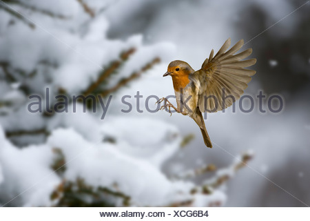Robin (Erithacus rubecula) in snow. UK - Stock Photo