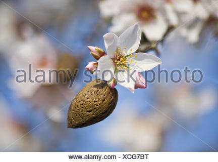Almond tree, detail, tonsil, blossom, blur, - Stock Photo
