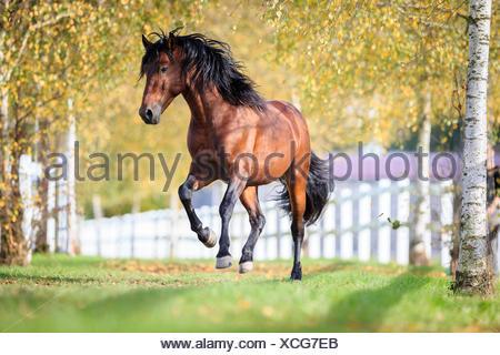 Pura Raza Espanola, Andalusian Bay gelding galloping pasture - Stock Photo