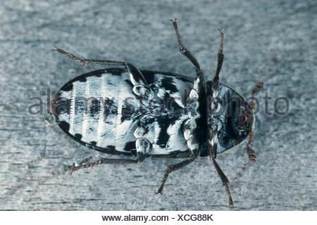 larder beetle, common larder beetle, bacon beetle (Dermestes lardarius), underside - Stock Photo