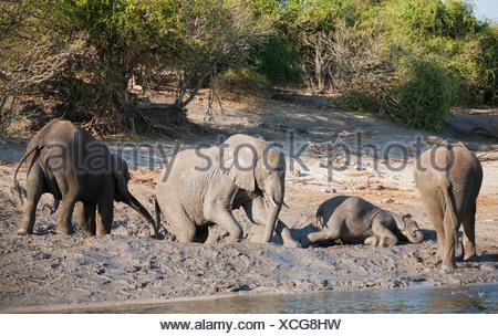 African Elephants (Loxodonta africana), small family at a muddy pool next to the Chobe River, Chobe National Park, Botswana - Stock Photo