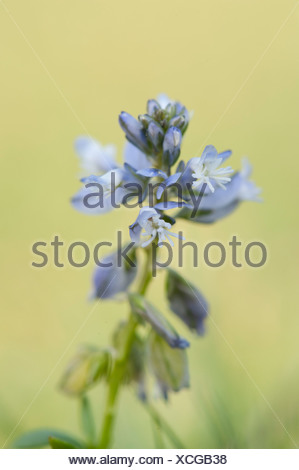 Common Milkwort Polygala vulgaris The Larches UK - Stock Photo