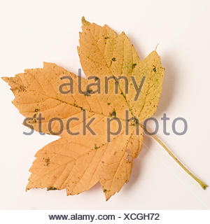 Maple leave - Stock Photo