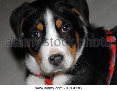 animals,quadruped,dog,puppy,male dog,berner,6 wochen,schwarz-wei - Stock Photo