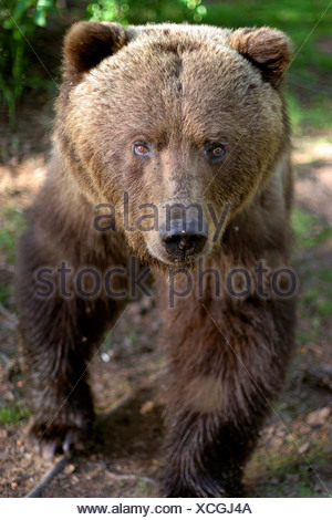 Frontal view of Large Grizzly walking forward in forest Southcentral Alaska Summer - Stock Photo