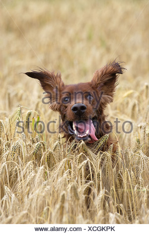 Irish Setter dog in cornfield - Stock Photo