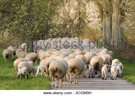 domestic sheep (Ovis ammon f. aries), herd on the tramp, Germany, Baden-Wuerttemberg, Breitenstein, Eberbach - Stock Photo