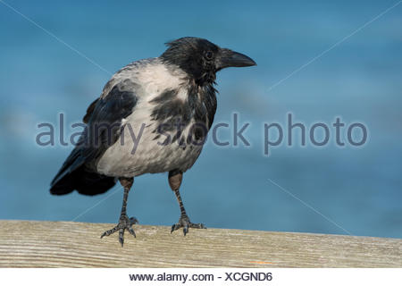 Hooded Crow (Corvus corone cornix) perched on railing, Mecklenburg-Western Pomerania, Germany - Stock Photo