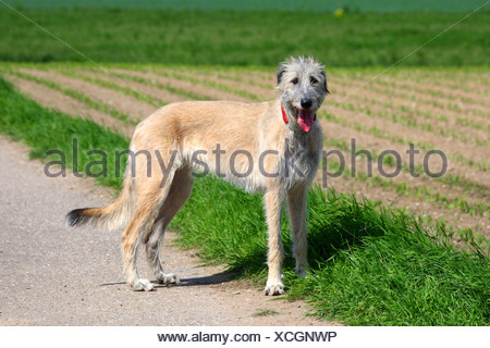 Irish Wolfhound (Canis lupus f. familiaris), standing at a field - Stock Photo