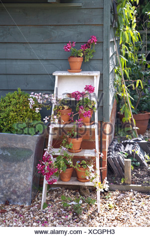 Pink geraniums in terracotta pots on white painted ladder leaning against shed - Stock Photo