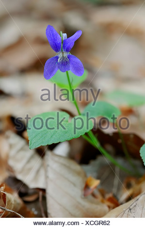 Early Dog-violet (Viola reichenbachiana), in flower, North Rhine-Westphalia, Germany - Stock Photo