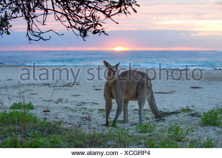 Kangaroo standing on beach, Australia - Stock Photo